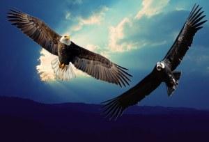 Aguila__Condor_